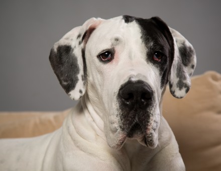 Great Dane Raleigh Pet Photographer-25