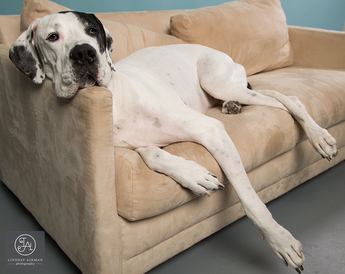 Great Dane Raleigh Pet Photographer