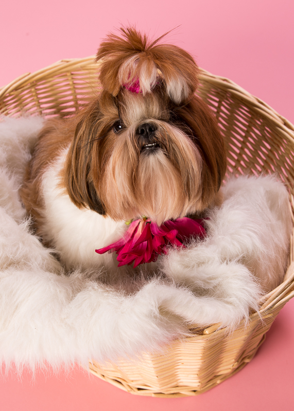 Valentine's Day Pet Portraits Raleigh Shih Tzu