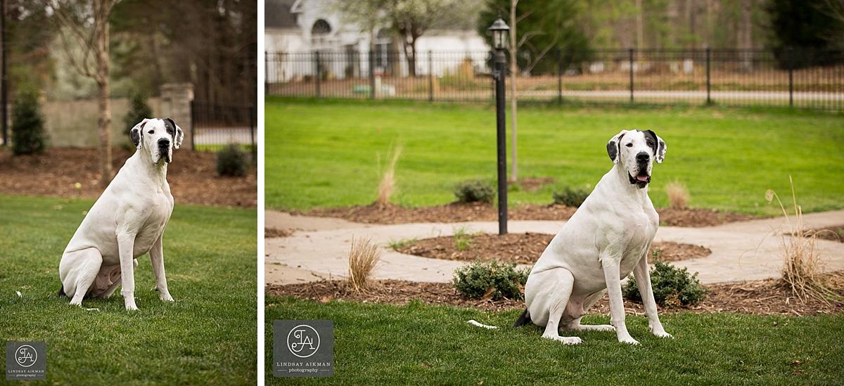 Great Dane Raleigh Pet Photographer
